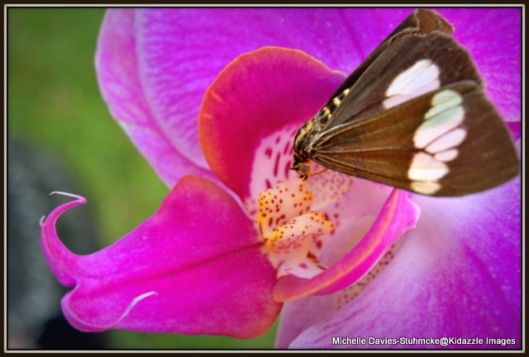 Butterfly on a Queensland Orchid