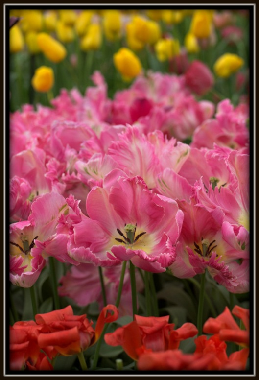 More Colourful Peach Blossums