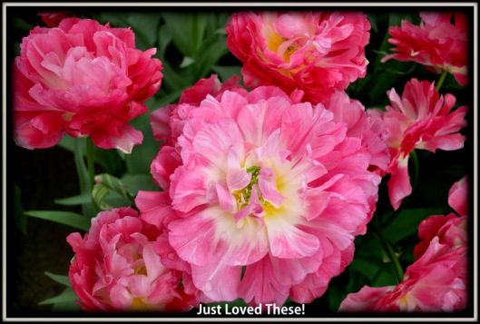 Double Peach Blossom Tulip