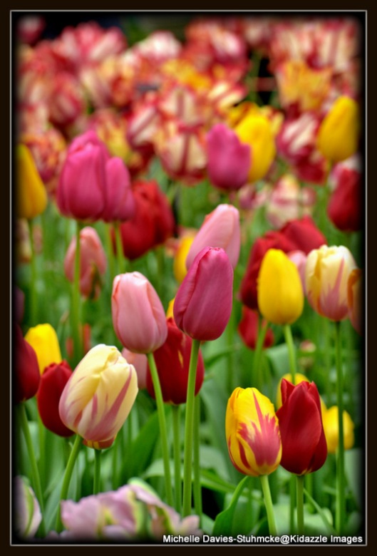More Tulips Keukenhof