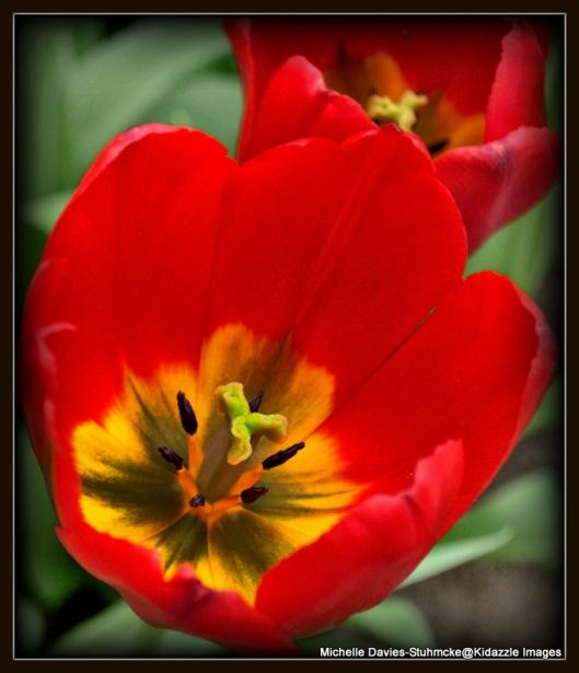 Macro of Tulip Keukenhof