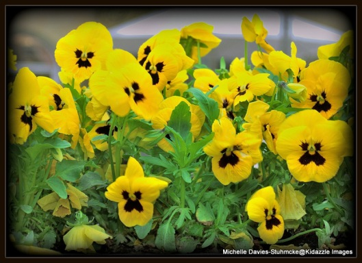 Spring Pansies Cologne