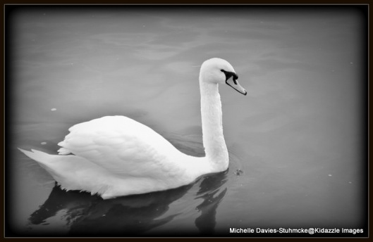 A swan on the Main River in Germany