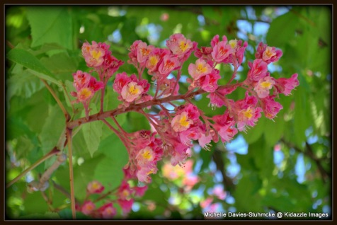Horse Chestnut Flowers, Krems, Austria.