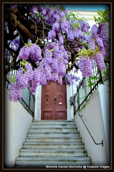 More of the Rambling Wisteria in Krems, Austria.