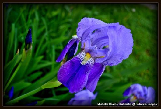 Purple Iris.