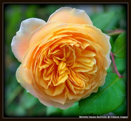 Apricot Rose in Passau, Germany.